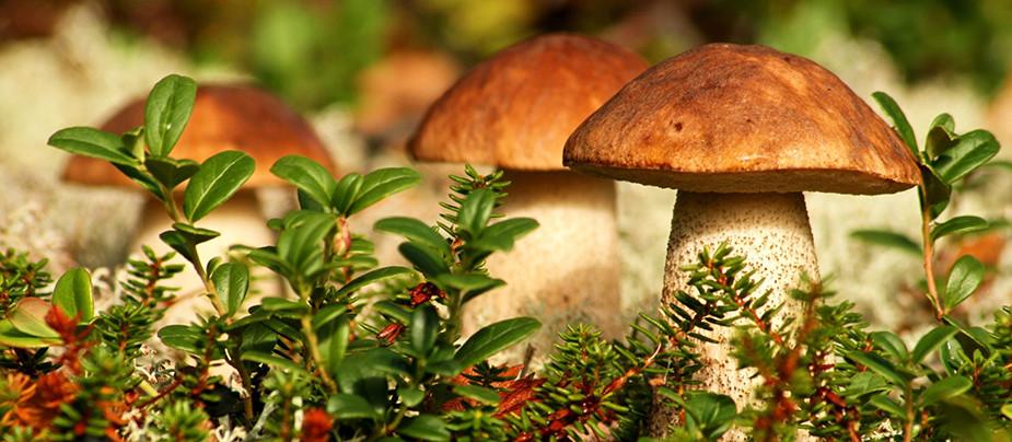 грибы ленинградской области 2015